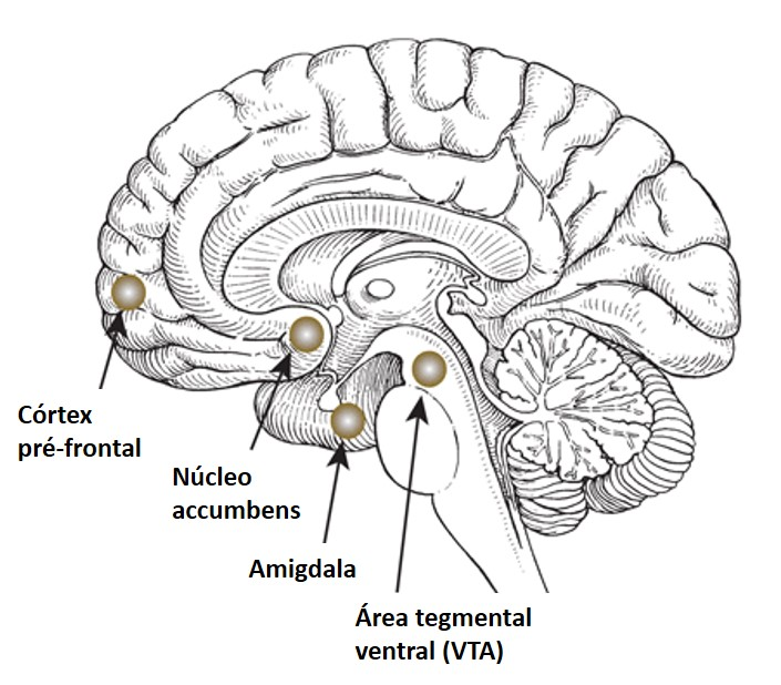 Arrested Development furthermore Anfound additionally Full besides Insular Cortex Diagram together with Location Of Cingulate Gyrus. on location of prefrontal cortex